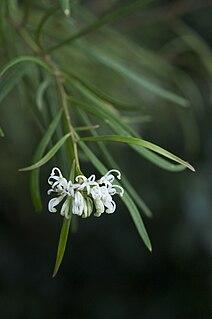 <i>Grevillea linearifolia</i> species of plant