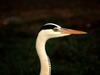 Grey Heron at Jamnagar DSCN1664 1.tif