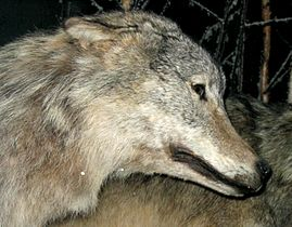 Grey Wolf 2.jpg