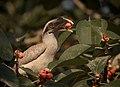 Grey hornbill in habitat.jpg