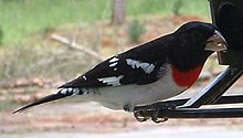 Grosbeak (Razmear).jpg