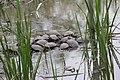 Group Of Basking Turtles (256531763).jpeg