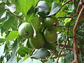 Guava Fruits with Leaves.JPG