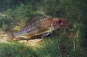 Gymnocephalus cernuus.jpg