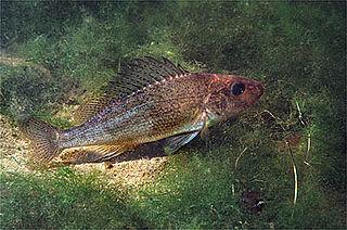 <i>Gymnocephalus</i> Genus of fishes