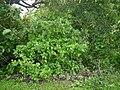 Gymnosporia puberula M.A.Lawson (7543850830).jpg