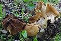 Gyromitra korfii (Raitv.) Harmaja 325440.jpg