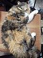 HK HH 紅磡 Hung Hom 異國長短毛貓 Exotic Shorthair bleed cat November 2020 SS2 09.jpg