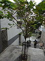 HK Sheung Wan 上環 磅巷 Pound Lane stairs tree Feb-2016 DSC 003.JPG