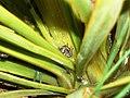 Hadramphus tuberculatus on Aciphylla aurea plant.jpg