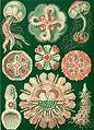 Haeckel Discomedusae 98.jpg