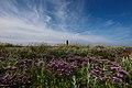 Halligflieder vor Leuchtturm Hallig Langeneß.jpg