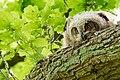 Hamburg DuvenstedterBrook owl nestling 2.jpg