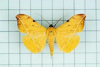 <i>Hamodes</i> Genus of moths