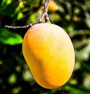 Mango Species of fruit