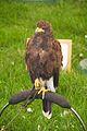 Harris Hawk, Cheshire Game and Country Fair 2014 2.jpg
