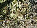 Hechtia sps. (5686365706).jpg