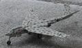 Heinkel P.1079A model.png
