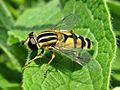 Helophilus trivittatus (Syrphidae) - (imago), Mook, the Netherlands.jpg