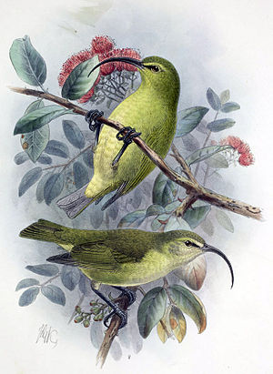 Lesser ʻakialoa - Illustration