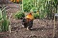 Hen in walled garden, Felbrigg Hall - geograph.org.uk - 1500801.jpg