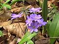 Hepatica nobilis ENBLA09.jpeg