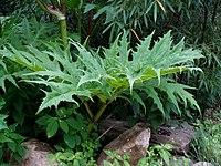Heracleum mantegazzianum Sausal - leaf.jpg