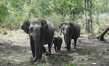 Herd of wild elephants.jpg