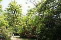 Herten - Schlosspark - Trompetenbaum 02 ies.jpg