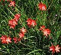 Hesperantha coccinea Major3037191847.jpg