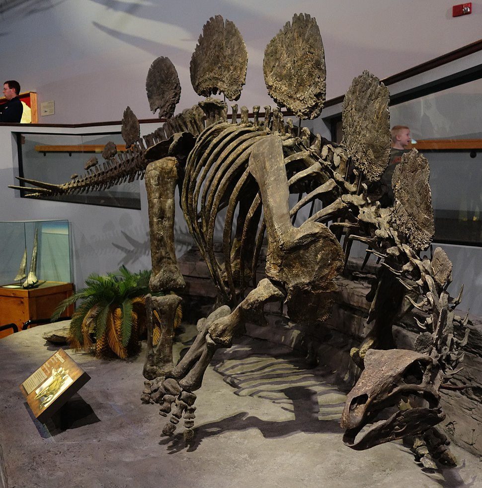 Hesperosaurus Museum of Ancient Life 3
