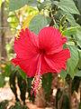 Hibiscus4.JPG