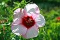 Hibiscus moscheutos Lady Baltimore 2zz.jpg
