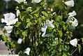 Hibiscus syriacus Diana 2zz.jpg