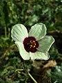 Hibiscus trionum sl77.jpg