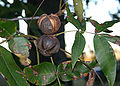 Hickory nuts 6060.JPG