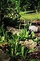 Hieracium aurantiacum BW 2.jpg