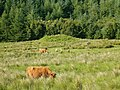 Highland cattle - geograph.org.uk - 194581.jpg