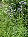Himmelsleiter Polemonium caeruleum nahe Dietfurt-001.jpg