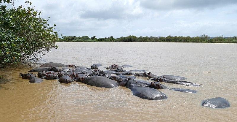 afrikanza-st.lucia-hippos