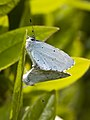 Holly blue butterflies (Thanks to Roland Bogush for proper I.D.) (17189620150).jpg