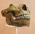 Homo heidelbergensis (Replika) 2.JPG
