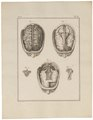 Homo sapiens - hersenen - 1700-1880 - Print - Iconographia Zoologica - Special Collections University of Amsterdam - UBA01 IZ19600101.tif