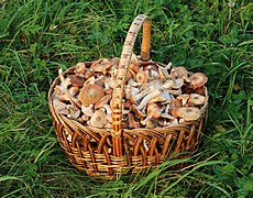 Honey fungus in basket 2018 G1.jpg