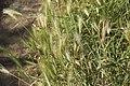 Hordeum vulgare-4379.jpg