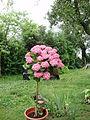 Hortenzie stromek.JPG
