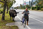 Hualien Taiwan Farmer-with-his-water-buffalo-01.jpg