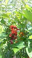 Hunza flowers 29.jpg