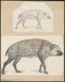 Hyaena crocuta - 1700-1880 - Print - Iconographia Zoologica - Special Collections University of Amsterdam - UBA01 IZ22200083.tif