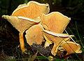 Hygrophoropsis aurantiaca.jpg